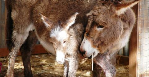 BREEDER ALERT FOALING ALARM MONITOR WELCOMES NEW BABY