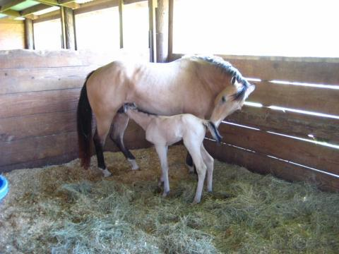 Another Successful Foaling with Breeder Alert Halter Foaling Alarm Monitor
